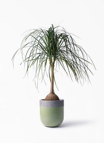 観葉植物 トックリヤシ 10号 バルゴ ツートーン 緑 付き