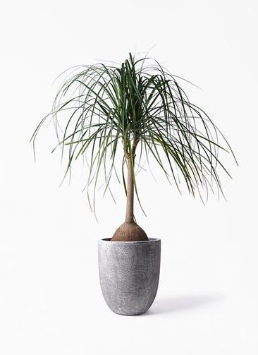 観葉植物 トックリヤシ 10号 フォリオアルトエッグ ブラックウォッシュ 付き