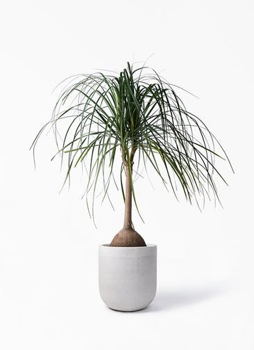 観葉植物 トックリヤシ 10号 バルゴ モノ ライトグレー 付き