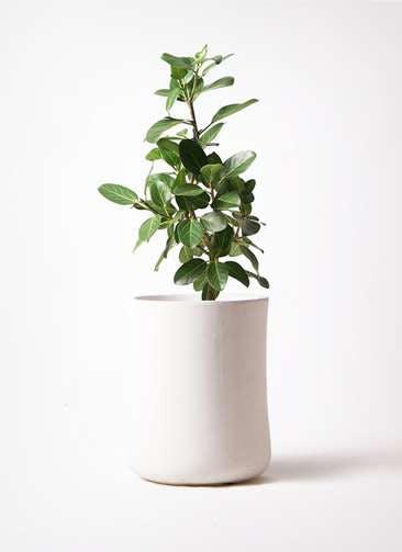 観葉植物 フィカス ベンガレンシス 7号 ストレート バスク ミドル ホワイト 付き