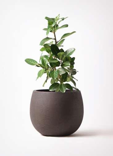 観葉植物 フィカス ベンガレンシス 7号 ストレート テラニアス ローバルーン アンティークブラウン 付き