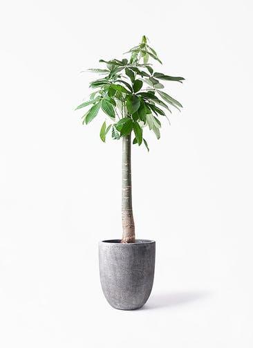 観葉植物 パキラ 10号 朴 フォリオアルトエッグ ブラックウォッシュ 付き