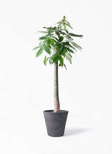 観葉植物 パキラ 10号 朴 ビアスソリッド ブラック 付き