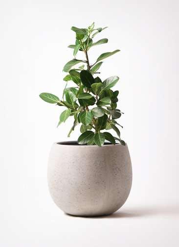 観葉植物 フィカス ベンガレンシス 7号 ストレート テラニアス ローバルーン アンティークホワイト 付き