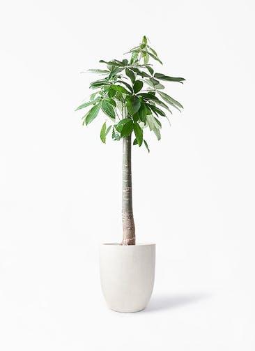 観葉植物 パキラ 10号 朴 フォリオアルトエッグ クリーム 付き