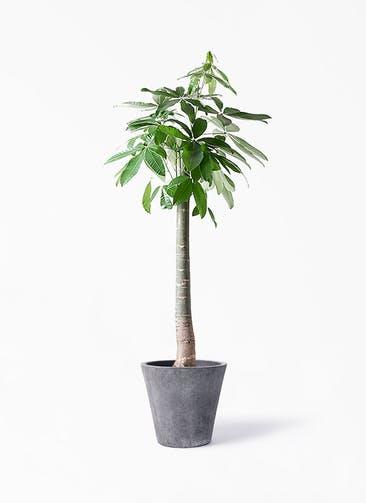 観葉植物 パキラ 10号 朴 フォリオソリッド ブラックウォッシュ 付き