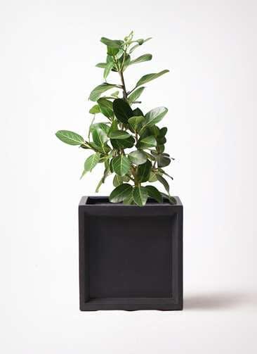 観葉植物 フィカス ベンガレンシス 7号 ストレート ブリティッシュキューブ 付き