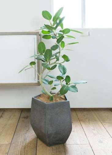 観葉植物 フィカス ベンガレンシス 8号 曲り ファイバークレイGray 付き