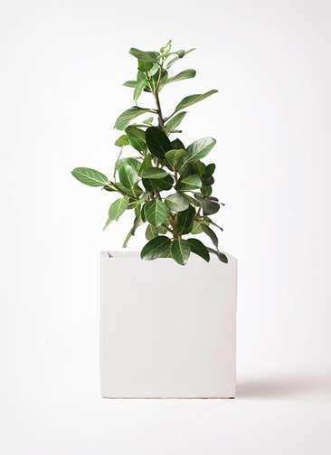 観葉植物 フィカス ベンガレンシス 7号 ストレート バスク キューブ 付き