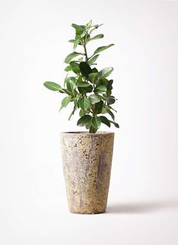 観葉植物 フィカス ベンガレンシス 7号 ストレート アトランティス クルーシブル 付き