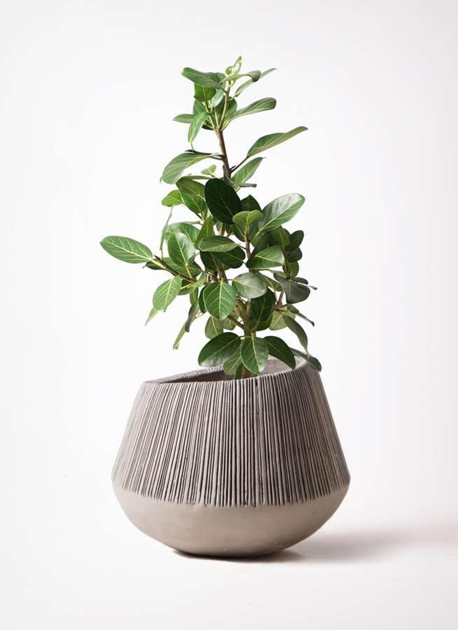 観葉植物 フィカス ベンガレンシス 7号 ストレート エディラウンド グレイ 付き