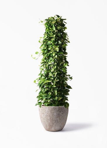 観葉植物 ポトス 10号 アビスソニア ラウンド 付き