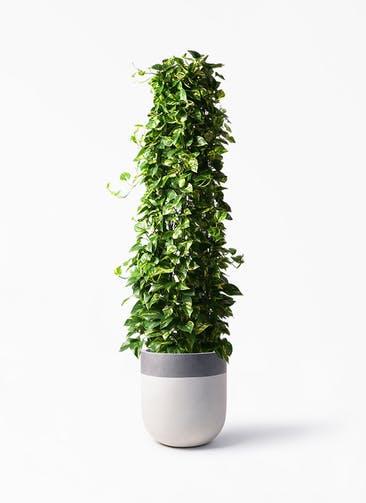 観葉植物 ポトス 10号 バルゴ ツートーン  サンディホワイト 付き