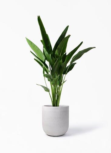 観葉植物 旅人の木 10号 バルゴ モノ ライトグレー 付き