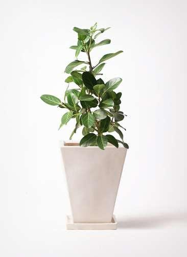 観葉植物 フィカス ベンガレンシス 7号 ストレート スクエアハット 白 付き