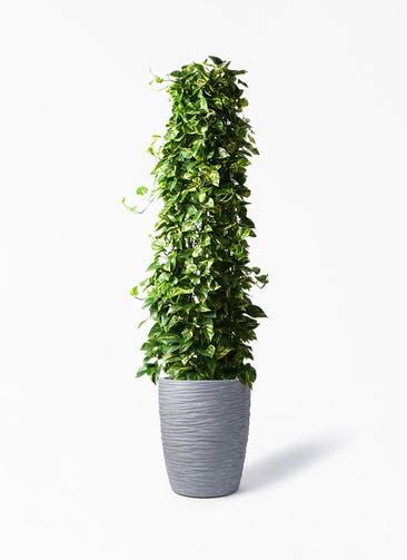 観葉植物 ポトス 10号 サン ミドル リッジ 灰 付き