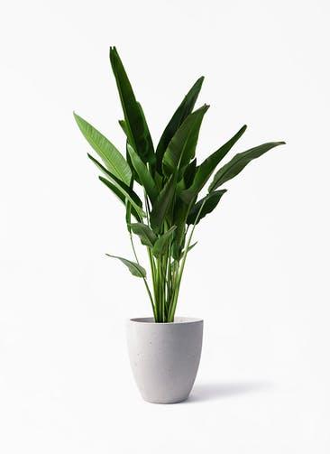 観葉植物 旅人の木 10号 コーテス ラウンド ベージュ 付き