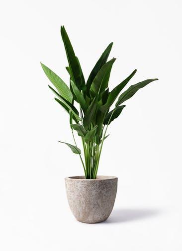 観葉植物 旅人の木 10号 アビスソニア ラウンド 付き