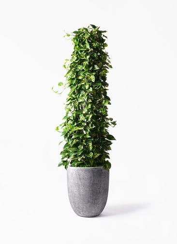 観葉植物 ポトス 10号 フォリオアルトエッグ ブラックウォッシュ 付き