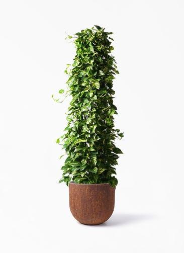 観葉植物 ポトス 10号 バル ユーポット ラスティ  付き