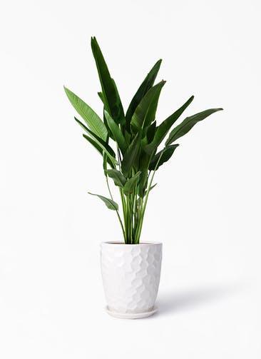 観葉植物 旅人の木 10号 サンタクルストール 白 付き