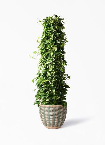 観葉植物 ポトス 10号 マラッカ ダイドグリーン 付き
