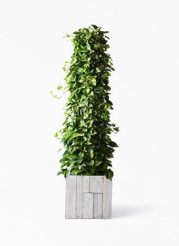観葉植物 ポトス 10号 パターン キューブ 付き