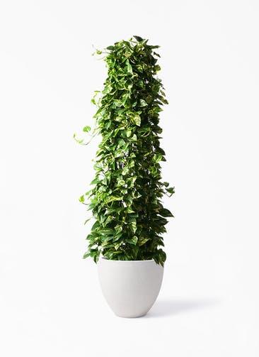 観葉植物 ポトス 10号 スタウト アッシュラウンド  付き