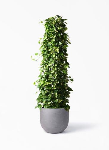 観葉植物 ポトス 10号 コンカー ラウンド 付き