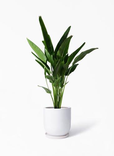 観葉植物 旅人の木 10号 アファール 白 付き