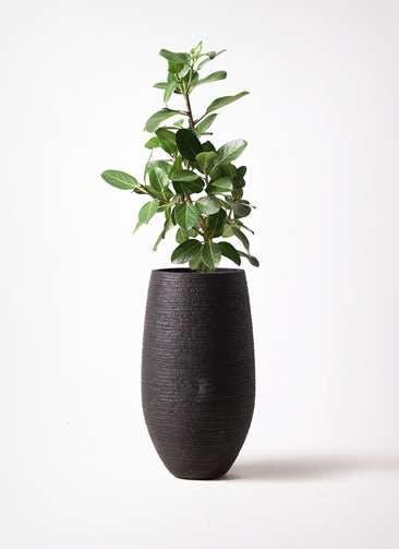観葉植物 フィカス ベンガレンシス 7号 ストレート フォンティーヌトール 黒 付き
