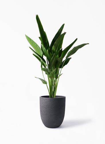 観葉植物 旅人の木 10号 ビアスアルトエッグ ブラック 付き
