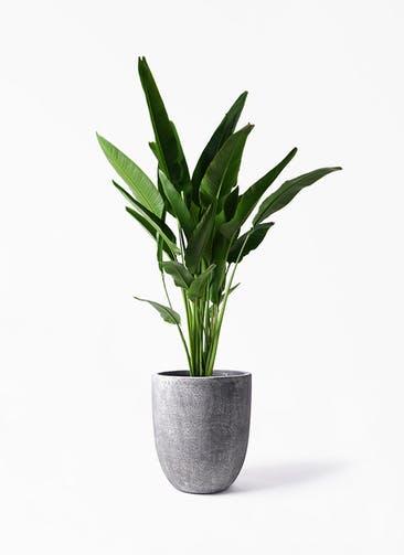 観葉植物 旅人の木 10号 フォリオアルトエッグ ブラックウォッシュ 付き