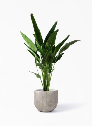 観葉植物 旅人の木 10号 バル ユーポット アンティークセメント 付き