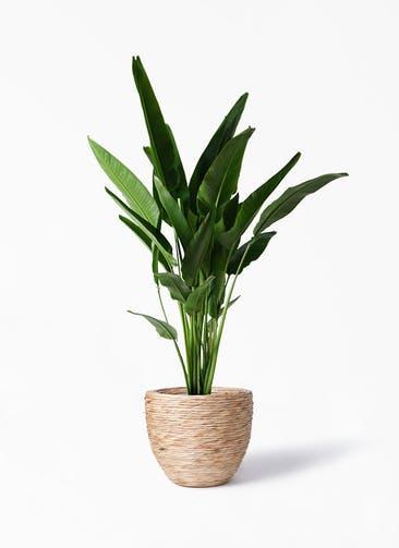 観葉植物 旅人の木 10号 マラッカ ウォーターヒヤシンス 付き