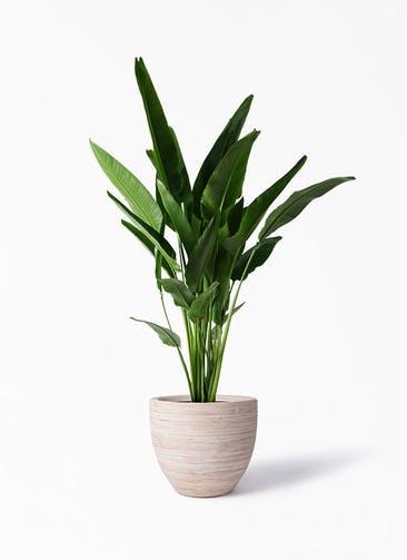 観葉植物 旅人の木 10号 マラッカ クリームウォッシュ 付き