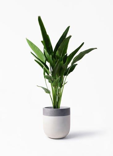 観葉植物 旅人の木 10号 バルゴ ツートーン  サンディホワイト 付き