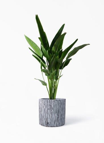 観葉植物 旅人の木 10号 コーテス シリンダー チゼル 付き