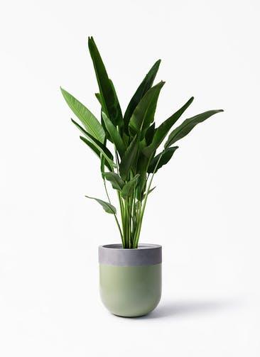 観葉植物 旅人の木 10号 バルゴ ツートーン 緑 付き