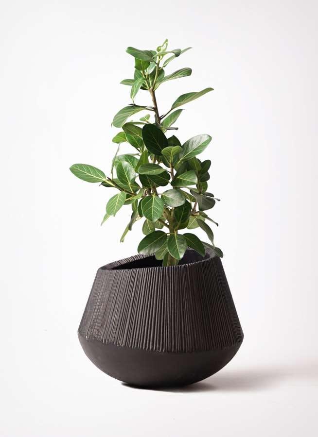 観葉植物 フィカス ベンガレンシス 7号 ストレート エディラウンド 黒 付き