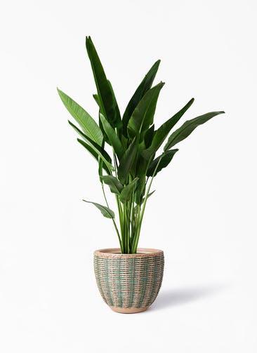 観葉植物 旅人の木 10号 マラッカ ダイドグリーン 付き