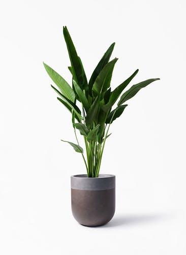 観葉植物 旅人の木 10号 バルゴ ツートーン マットブラウン 付き