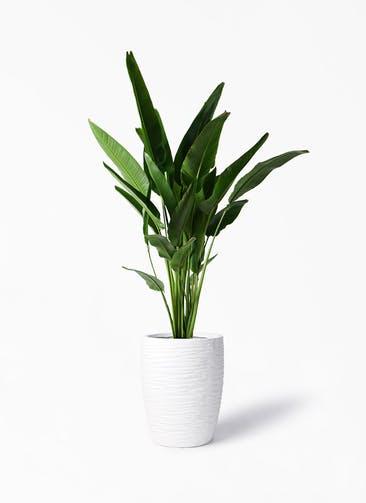 観葉植物 旅人の木 10号 サン ミドル リッジ 白 付き