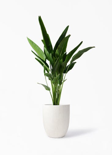 観葉植物 旅人の木 10号 フォリオアルトエッグ クリーム 付き