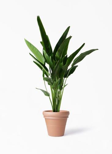 観葉植物 旅人の木 10号 トスカーナ リムポット 付き