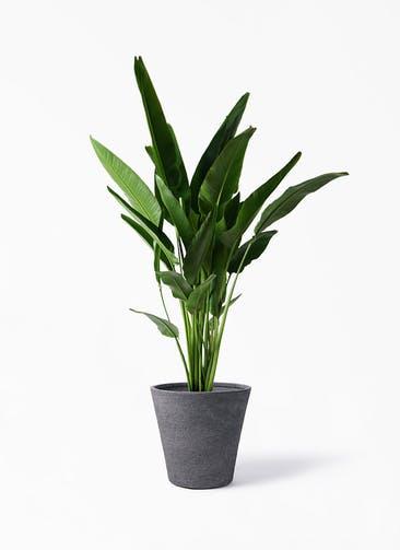 観葉植物 旅人の木 10号 ビアスソリッド ブラック 付き