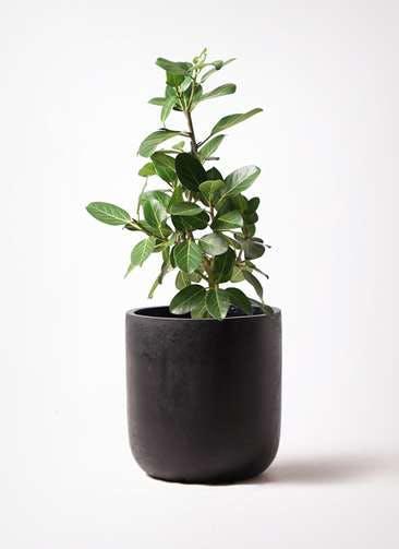 観葉植物 フィカス ベンガレンシス 7号 ストレート エルバ 黒 付き
