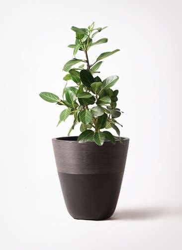 観葉植物 フィカス ベンガレンシス 7号 ストレート ジュピター 黒 付き