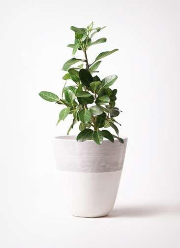 観葉植物 フィカス ベンガレンシス 7号 ストレート ジュピター 白 付き