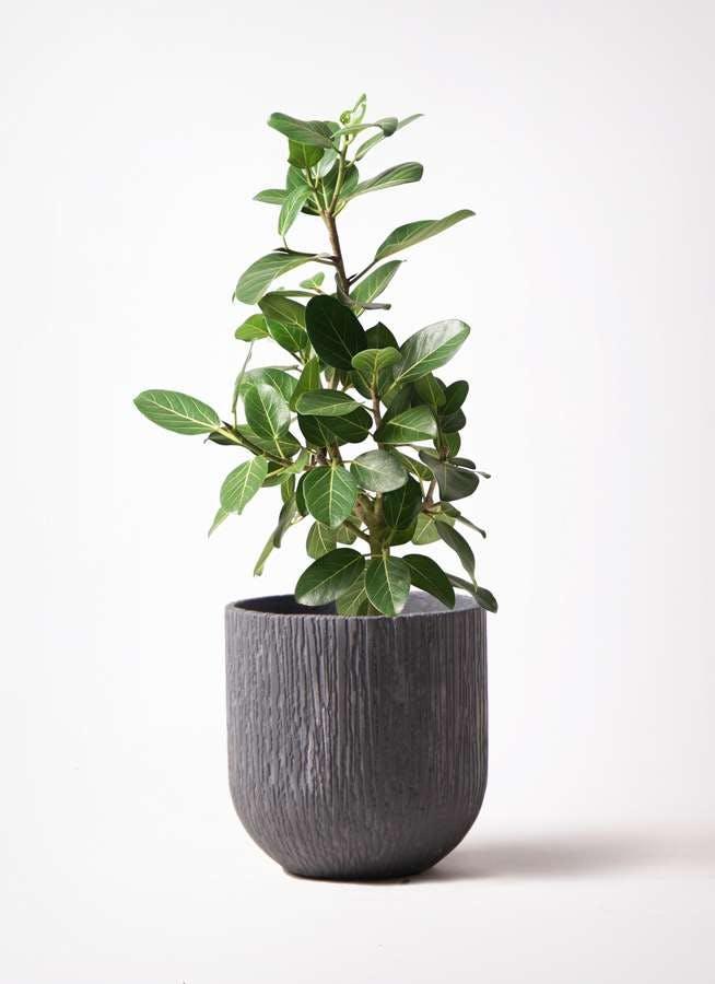 観葉植物 フィカス ベンガレンシス 7号 ストレート カルディナダークグレイ 付き